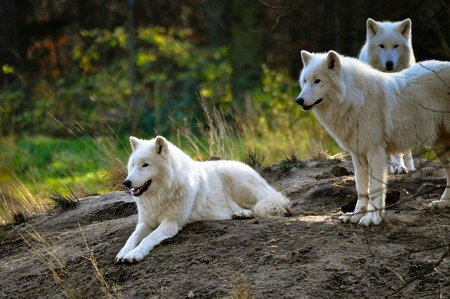 Skupina vlkov.jpg